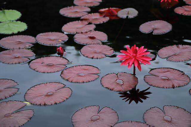 Budismo: samsara e nirvana (flor de lótus)